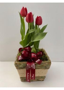 Tulipa vermelha em cachepô