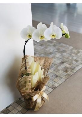 Orquídea Embalada