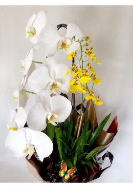 Orquídea Dupla Dia das Mães