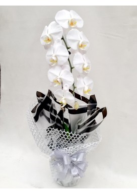 Orquídea Dia das Mães