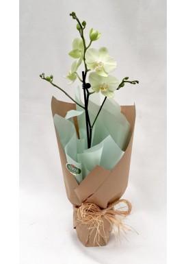 Mini Orquídea Dia das Mães