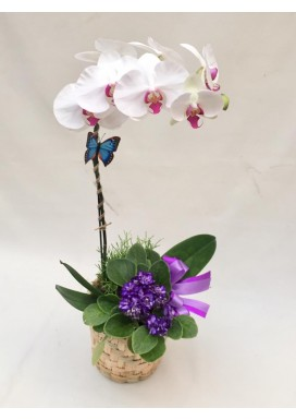 Orquídea + Violeta + Suculenta Dia Das Mães